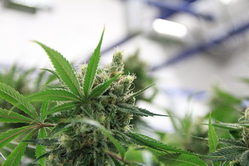 automatyczne nasiona marihuany